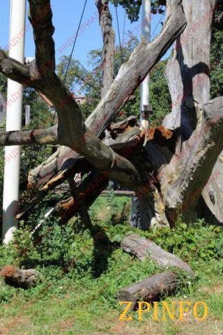 Александр Притула рассказал, что ветка у запорожского дуба отвалилась еще весной