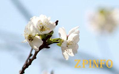 На запорожском курорте зацвела вишня