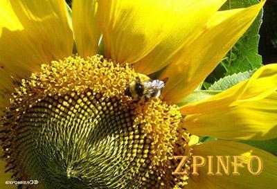 Урожай подсолничника и сои зависит от пчел