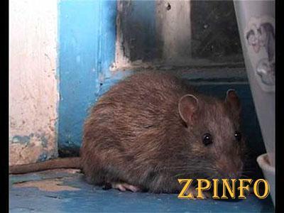 В Запорожье многоэтажку атакуют крысы