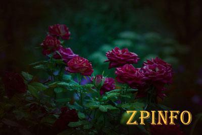 В Запорожье выкапывали розы из городской клумбы