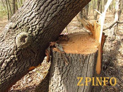 В Запорожье незаконно вырубили деревья