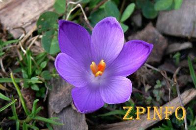 В Запорожье посреди осени расцвели весенние цветы