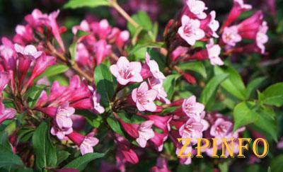 В Запорожье посреди осени цветут весенние цветы