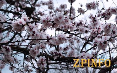 В Запорожье расцветают абрикосовые деревья