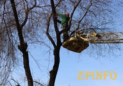 В Запорожье снова удалят деревья
