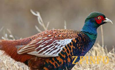 В Запорожье увидели гуляющих фазанов
