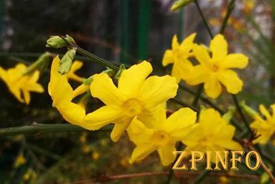 В Запорожье вовсю цветет жасмин