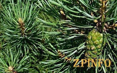 В Запорожье выросла стоимость живых елок