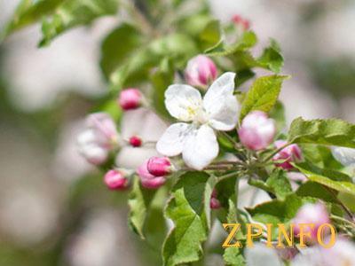 В Запорожье зацвели яблони