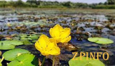 В Запорожских плавнях цветет редкий цветок