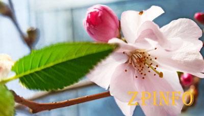 В Запорожском ботаническом саду зацвела сакура