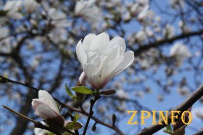 В Запорожском ботсаду готовятся цвести магнолии