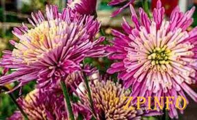 В запорожском ботсаду цветут хризантемы