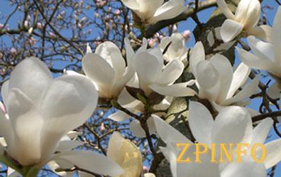 В Запорожском ботсаду цветут магнолии