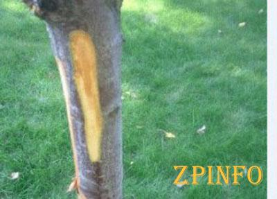 В запорожском парке изуродовали аллею сакур