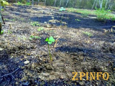 В запорожском парке высадили десятки молодых дубов