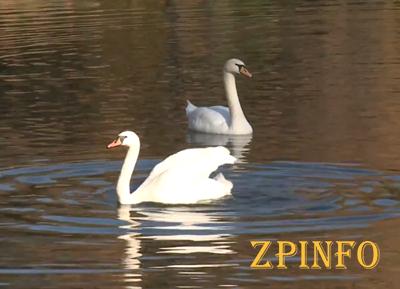 В Запорожской «Дубовке» появились 2 новых лебедя