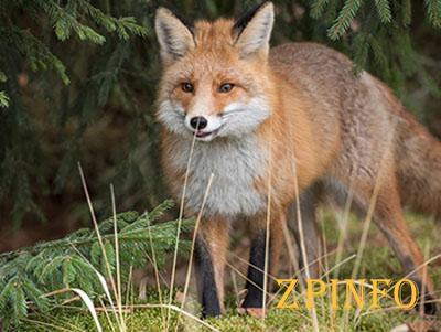 В Запорожской области начали отстреливать лис