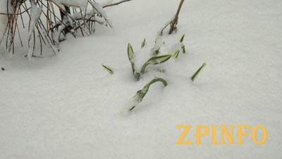 В Запорожской области расцвели подснежники