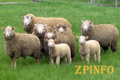 В Запорожской области разыграют 15 баранов