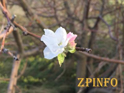 В Запорожской области цветут яблони