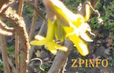 В Запорожской области в ноябре цветет смородина