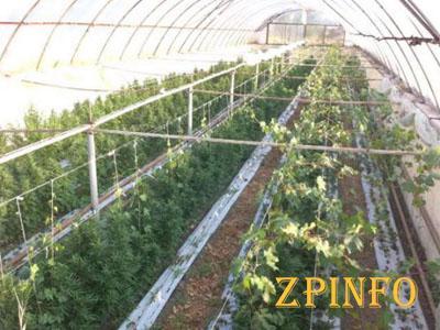 В Запорожской области выращивали элитную коноплю