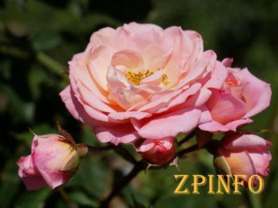 Запорожец воровал на аллее розы ради возлюбленной