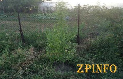 Запорожец засадил свой огород кустами каннабиса