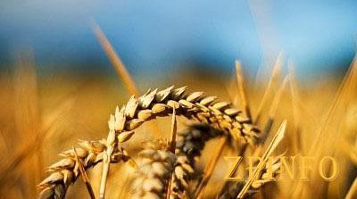 Запорожские аграрии собрали рекордный урожай пшеницы