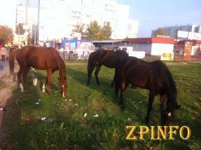 Запорожские полицейские ловили сбежавших лошадей
