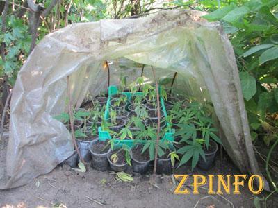 Запорожца посадят на семь лет за выращивание конопли