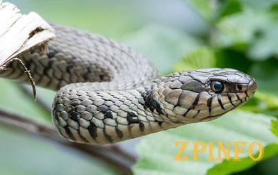 Змеи заползают во дворы и дома запорожцев