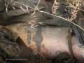 Сорок пятый полк специального назначения ВДВ Вооруженных сил России воюет в Украине